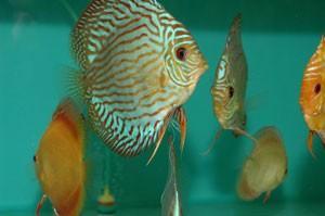 Fish Tapeworms